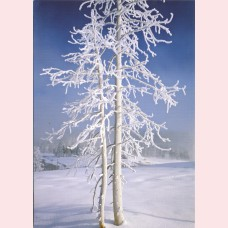 Lodgepole pine covered in rime ice